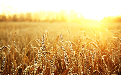 Wheat_filed_high_yield