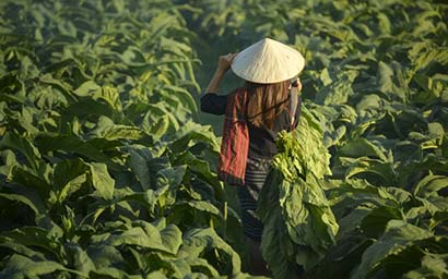 Tobacco_farm