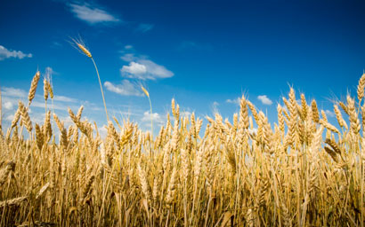 Wheat field1
